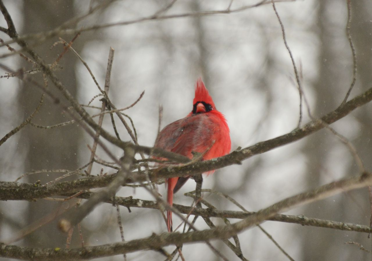 Puffed up for winter (photo)