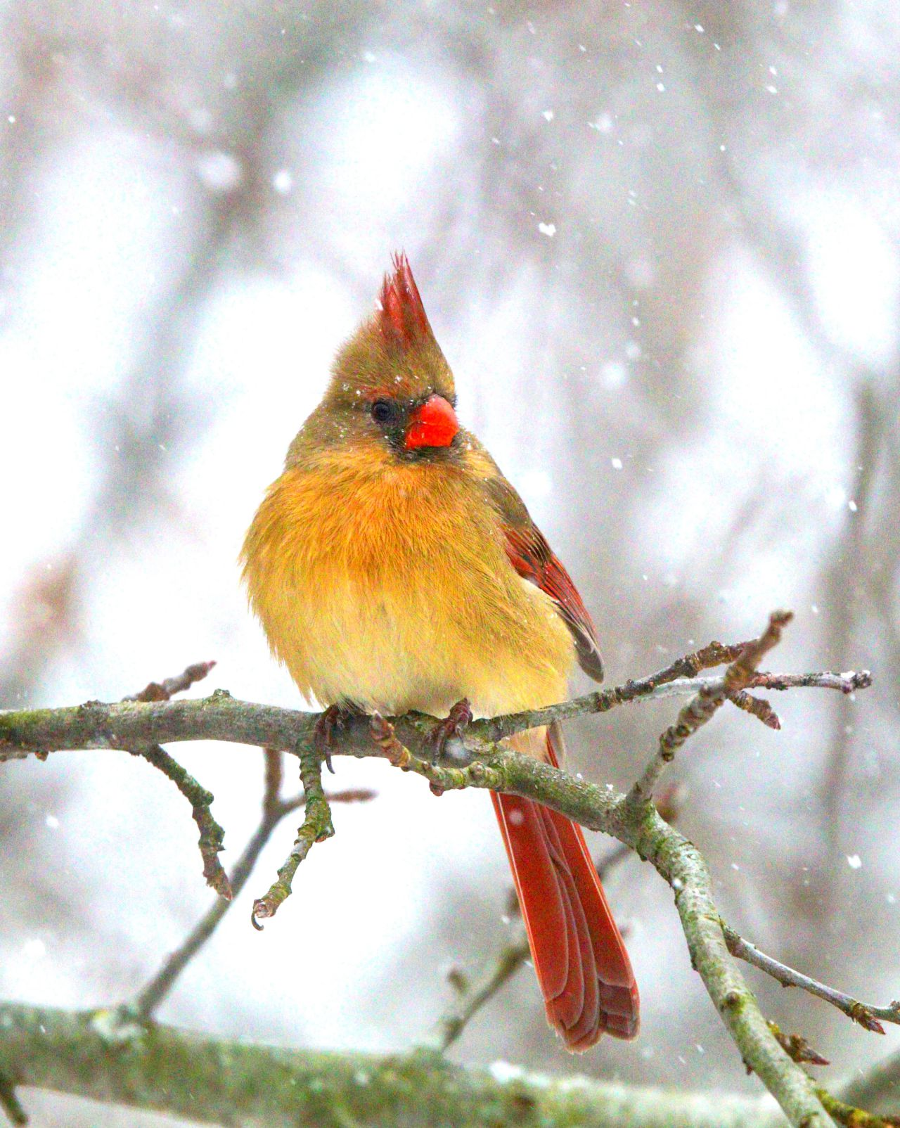 Female cardinal peering into the snow (photo)