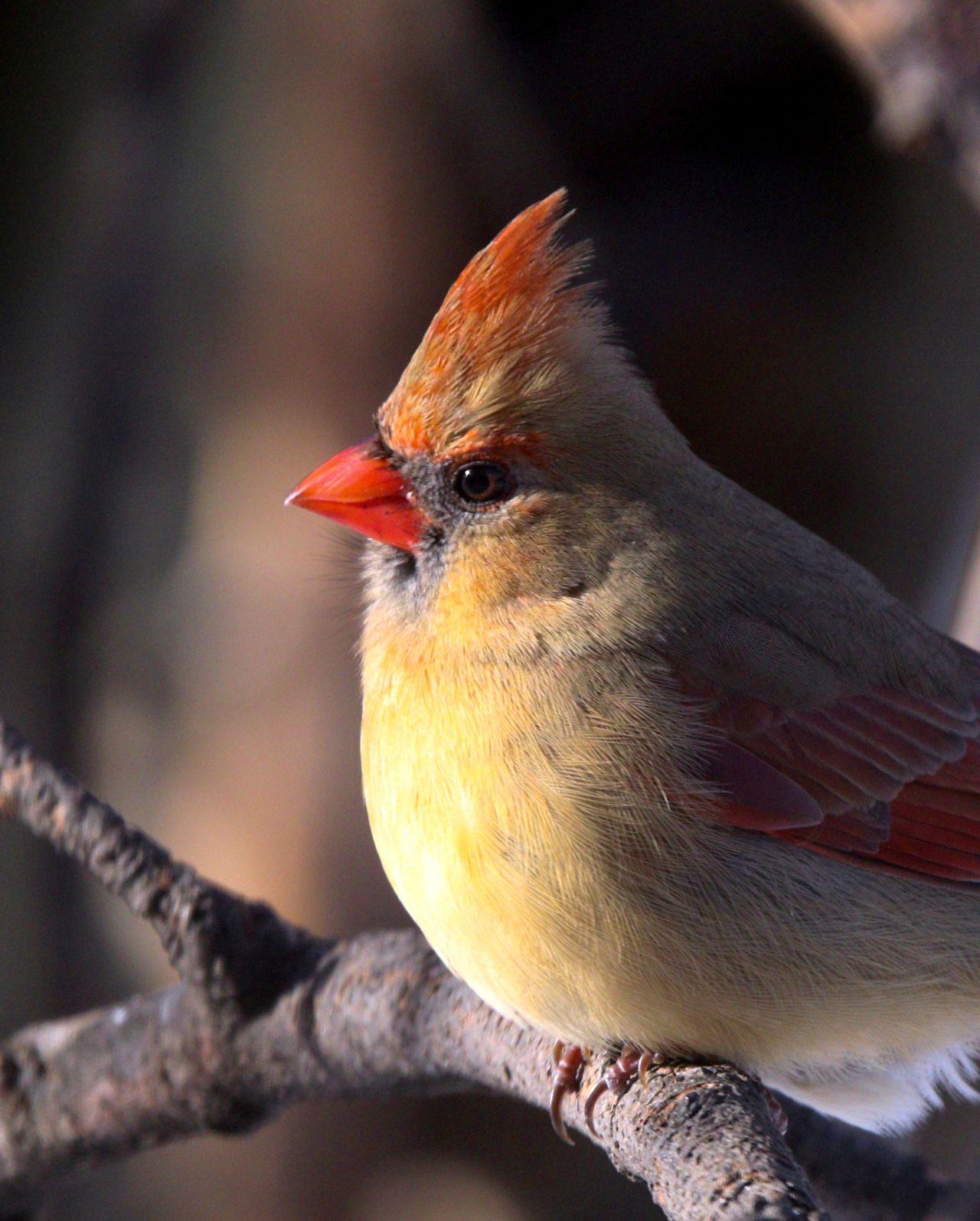 Female cardinal enjoys some sun (photo)